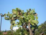Старый кактус